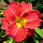 hemerocallis aruba red