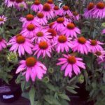 Echinacea-purpurea-Baby-Swan-Pink_NzA5NjUwN1o