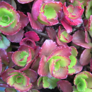 Sedum spurium Ruby Mantle 3