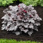 heuchera plum puding