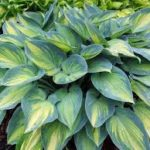 hosta june