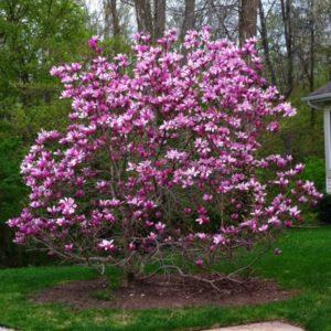 magnolija nigra