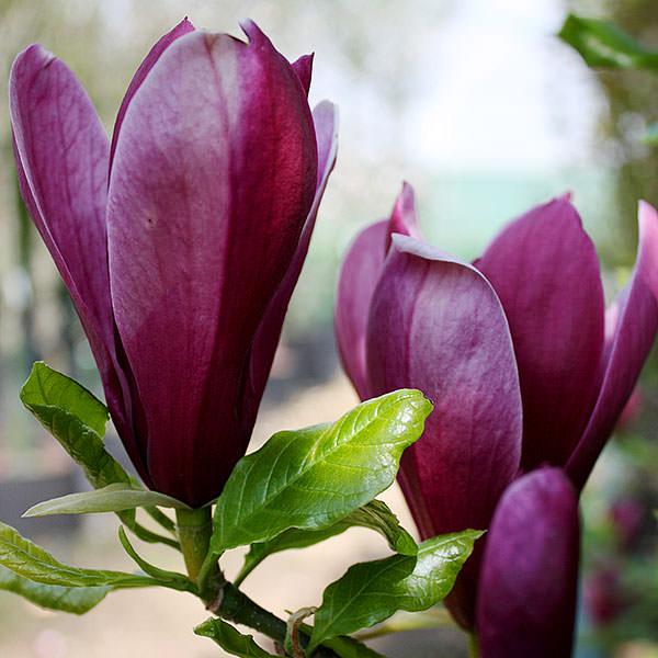 magnolia nigra1