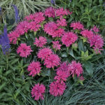 monarda