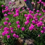 armeria maritima splendens