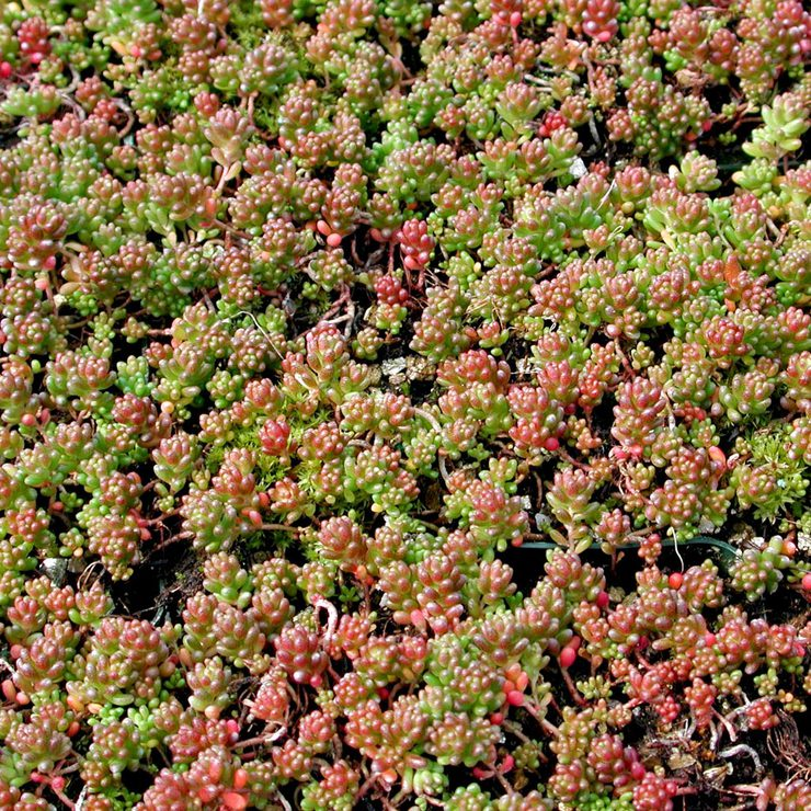 sedum album coral carpet1