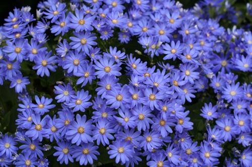 zvezdan - aster - plavi