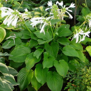 hosta plantaginea