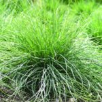 festuca walberla