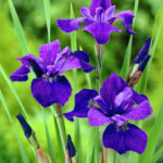 iris sibirica