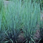 andropogon scoparius2