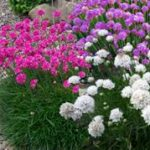 armeria mix