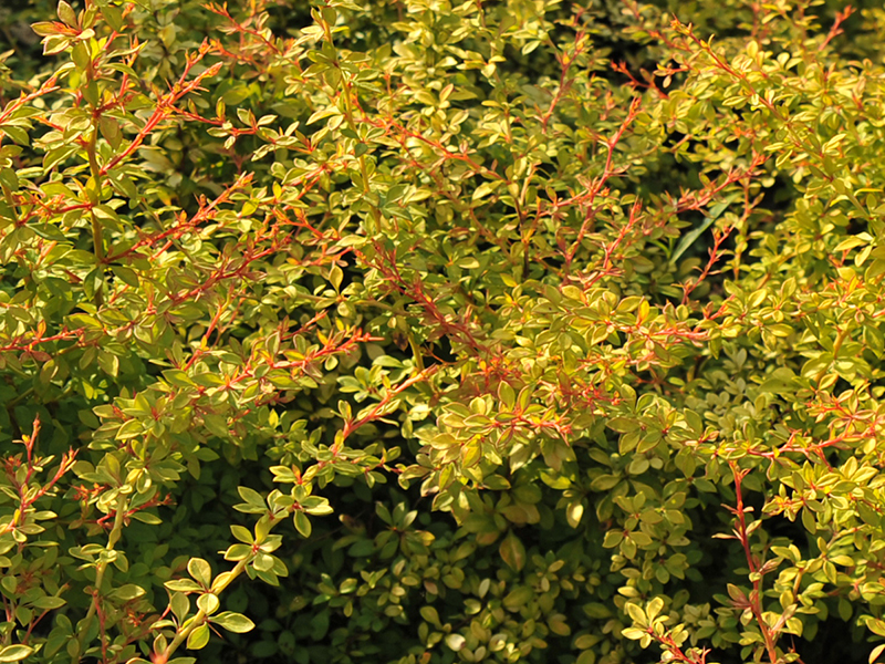 berberis golden dream1