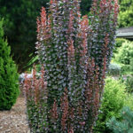 berberis red rocket