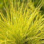 festuca glauca golden toupee