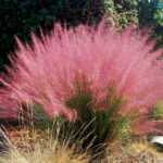 muhlenbergia capilaris