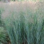panicum heavy metal