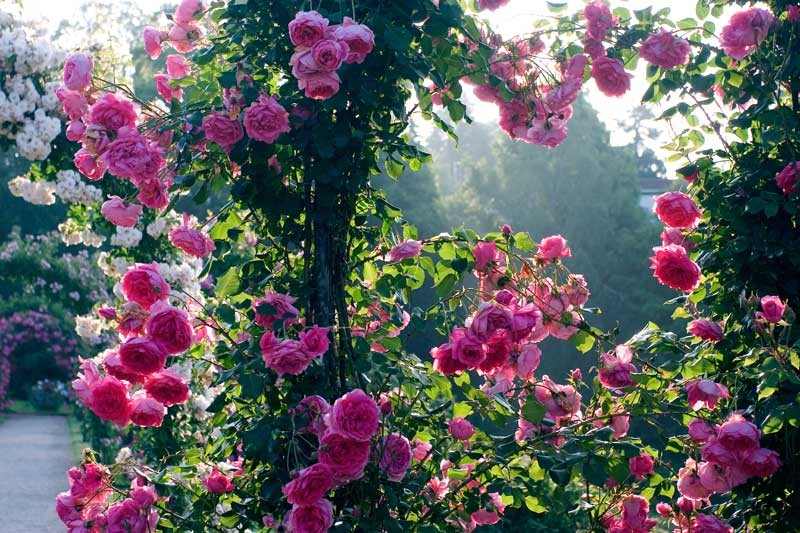 ruza puzavica roze