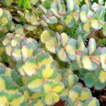 sedum variegatum