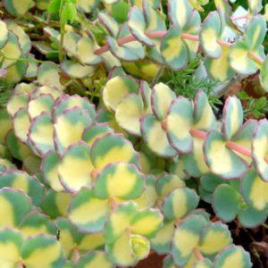 sedum sigboldi variegata