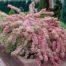 vajgela variegata sarenolisna