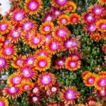 delosperma fire spiner