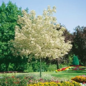 acer neg variegatum1