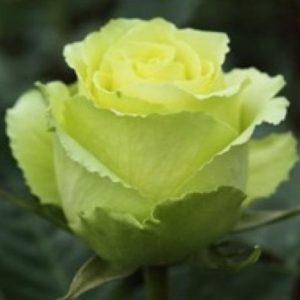 amandine rose
