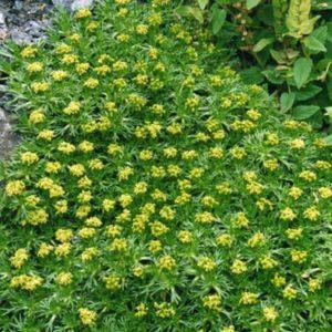 azorela trifurcata