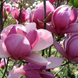 magnolija soulangeana rustica rubra
