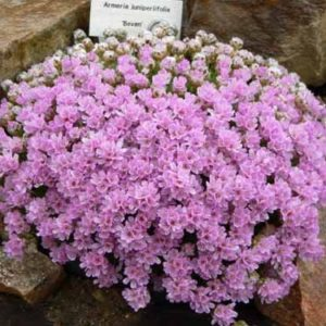 armeria juniperifolia - mini