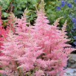 astilbe darvins dream
