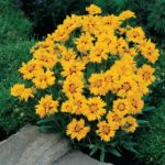coreopsis rising sun