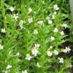 gratiola officinali