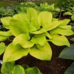 hosta golden lemon