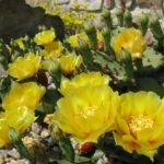 opuntia compressa1