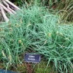 carex flacca
