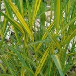 phragmites australis variegatus