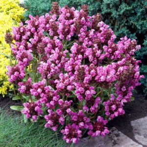 prunela grandiflora
