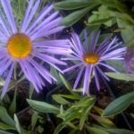 aster alpinus
