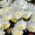 delosperma bela