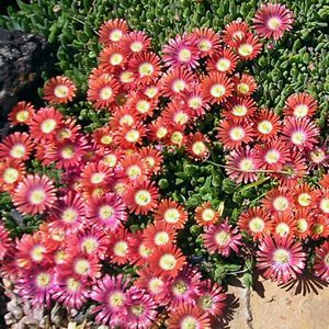delosperma red mountain