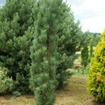 pinus silvestris fastigiata