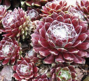 sempervivum arachnoideum tomentosum