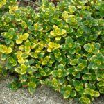 thymus citroidus variegata
