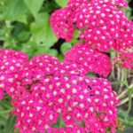 achillea millefolium rose madder