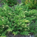 Juniperus_sabina_variegata