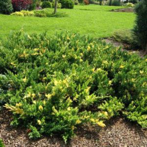 juniperus variegata