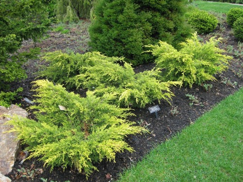 juniperus_saybrook_gold_at_cbg