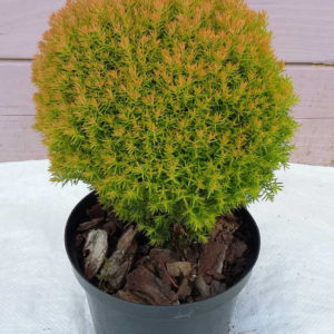 thuja teddy gold